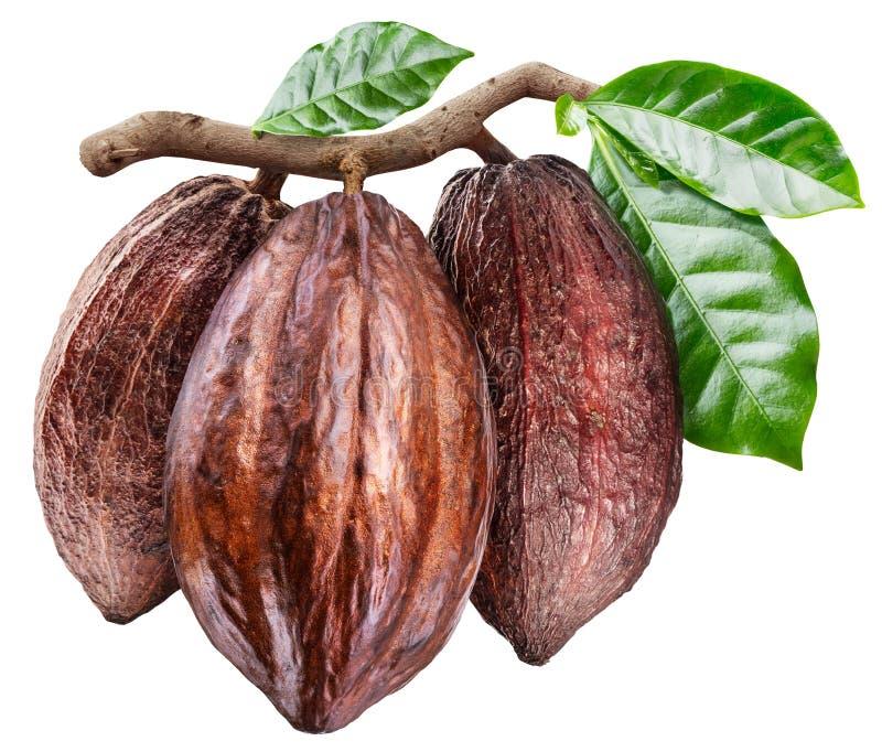 3 стручка какао на ветви с зелеными листьями сердце вишни схематическое сделало томаты фото стоковое фото