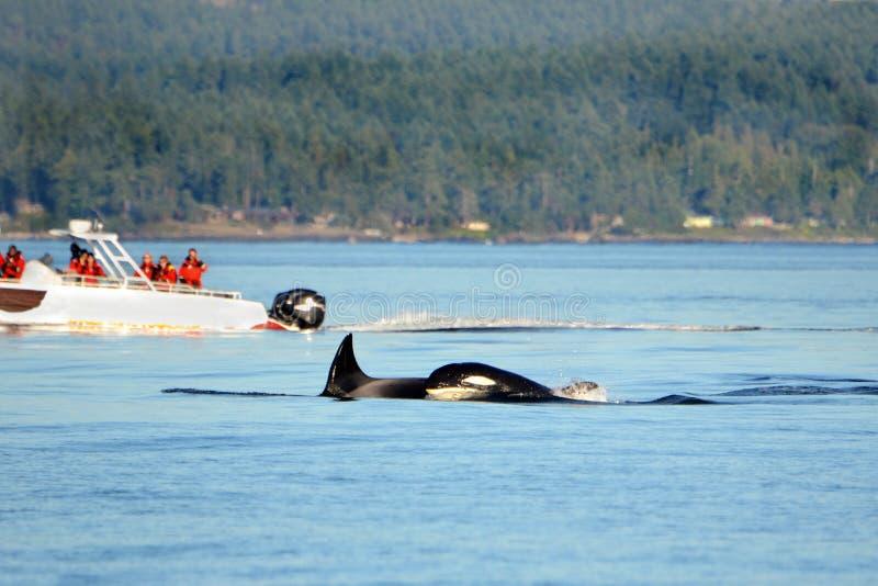 Стручок плавания дельфин-касатки косатки, со шлюпкой кита наблюдая на заднем плане, Виктория, Канада стоковые фото