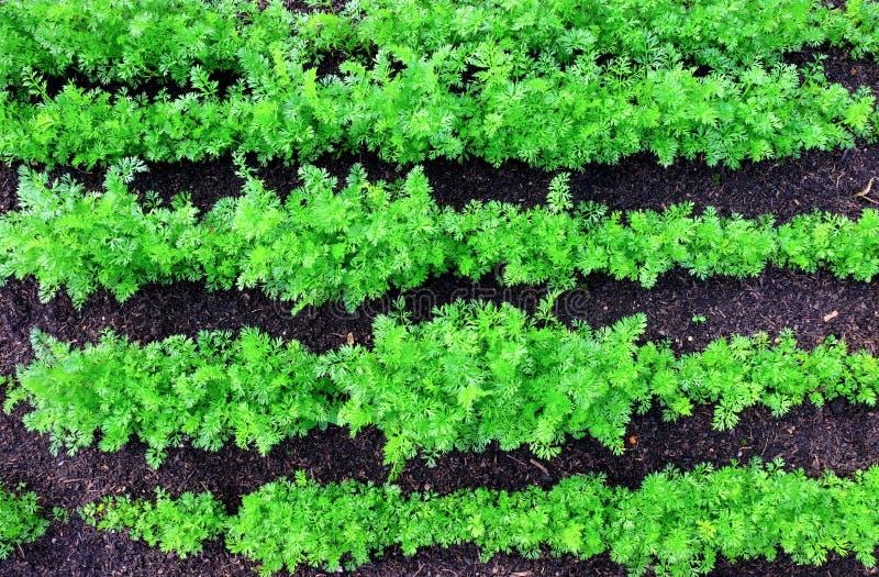 5 строк зеленых верхних частей моркови растя в прямых линиях в заплате овоща стоковые фотографии rf