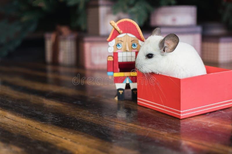 Счастливый китайский Новый Год 2020 год крысы Портрет милой белой шиншиллы на предпосылке рождественской елки стоковое изображение