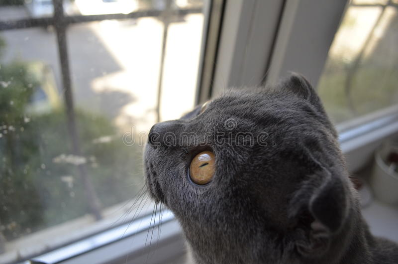 Ð¡at looking out the window royalty free stock photo