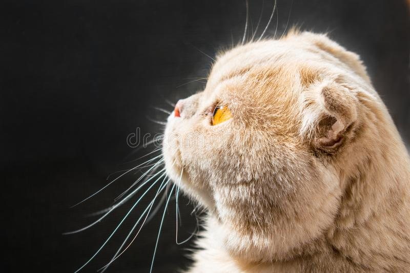 Ð¡at in profile sunlit on a dark background. A beautiful Scottish lop-eared cat with golden eyes. Close up. Waiting for royalty free stock images
