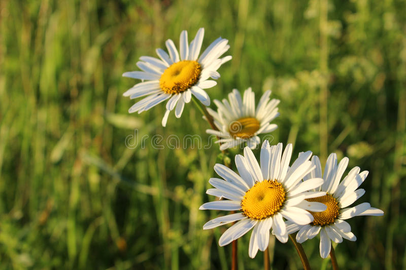 Ð¡hamomile in a field royalty free stock photo