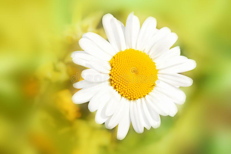 Ð¡hamomile flower in garden. Summer floral landscape. Macro. Top view. Bokeh background royalty free stock photography