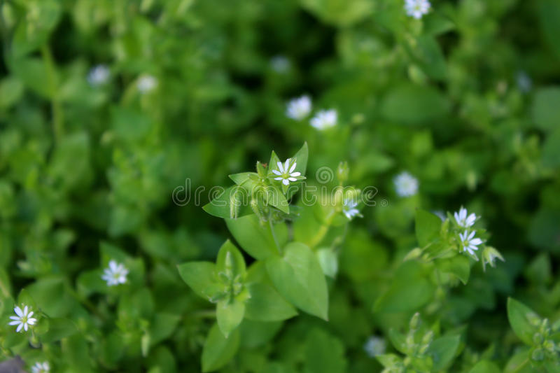 Ð¡hickweed Herb stock images