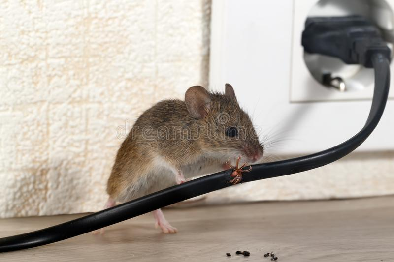 Closeup mouse gnaws wire in an apartment house on the background of the wall and electrical outlet stock photo