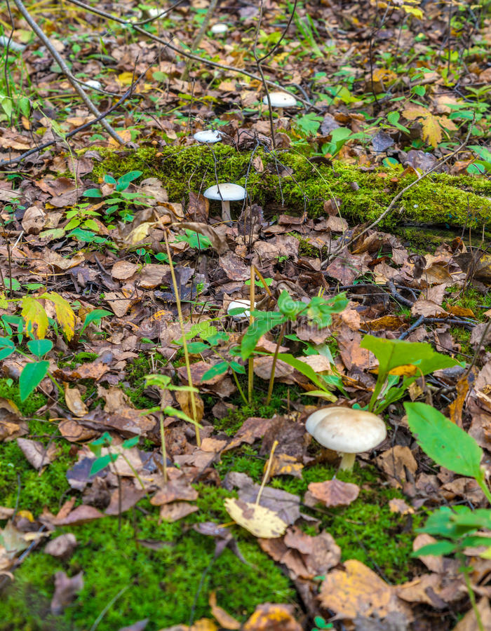 Ð¡louded agaric (Clitocybe nebularis) edible mushroom among fal royalty free stock images
