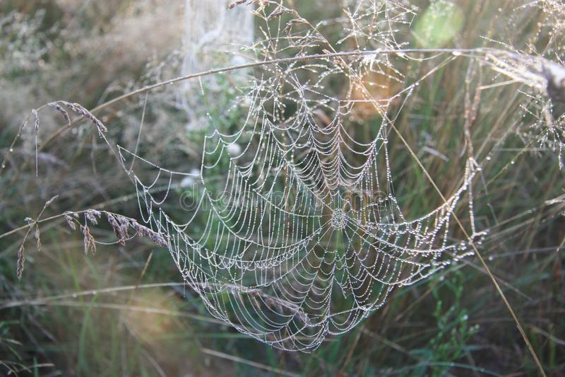 Ð¡obweb.Wildlife.Belarus. stock image