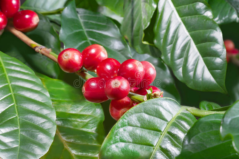 Ð¡offee beans with leaves stock image
