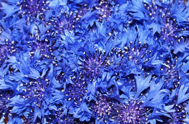 Сornflowers royalty free stock photo