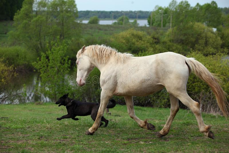 Ð¡remello horse playing with dog in summer meadow royalty free stock photos