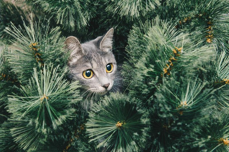 Ð¡urious gray kitten climbed onto Christmas tree. New year theme royalty free stock photo