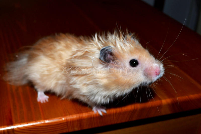Ð¡urious hamster royalty free stock images