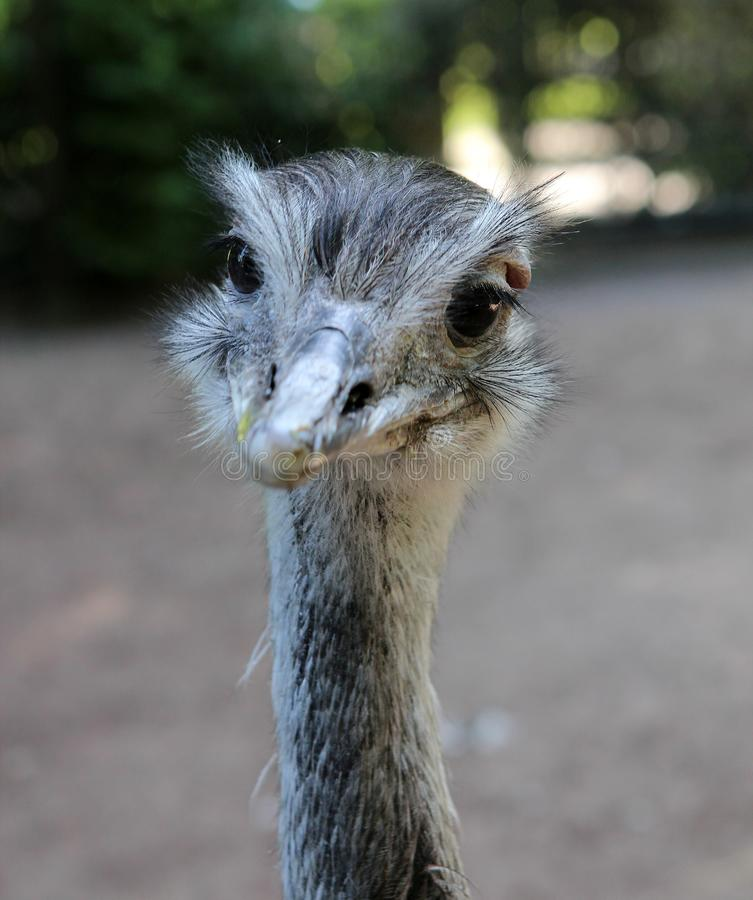 Ð¡urious ostrich. Animals. Knowledge of nature. royalty free stock images