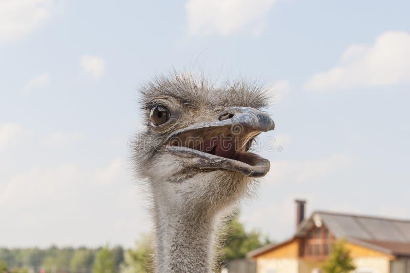 Ð¡urious ostrich stock images