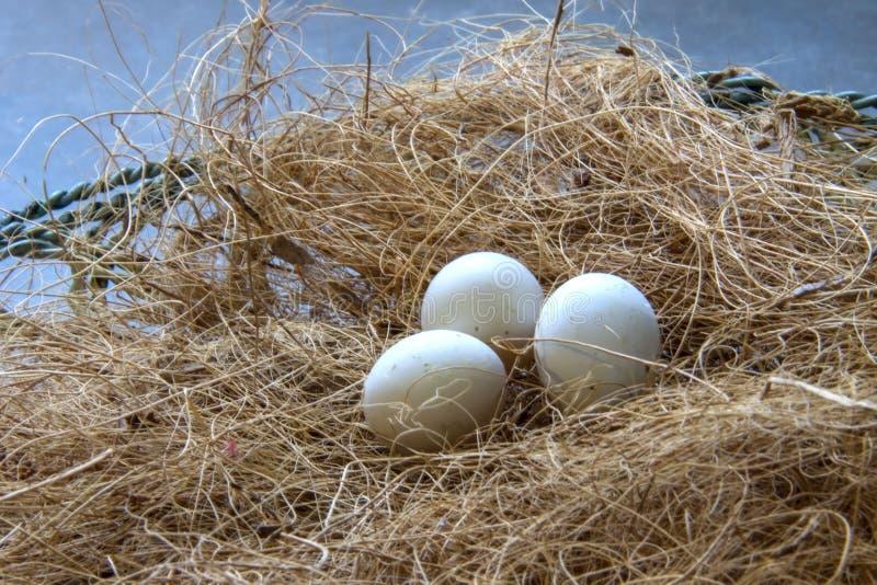 Яйца попугая в гнезде стоковое изображение rf