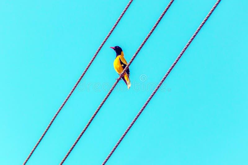 Яркая тропическая желтая птица с черной головой на проводах Черно-головые Иволговые, ceylonensis xanthornus Oriolus стоковая фотография