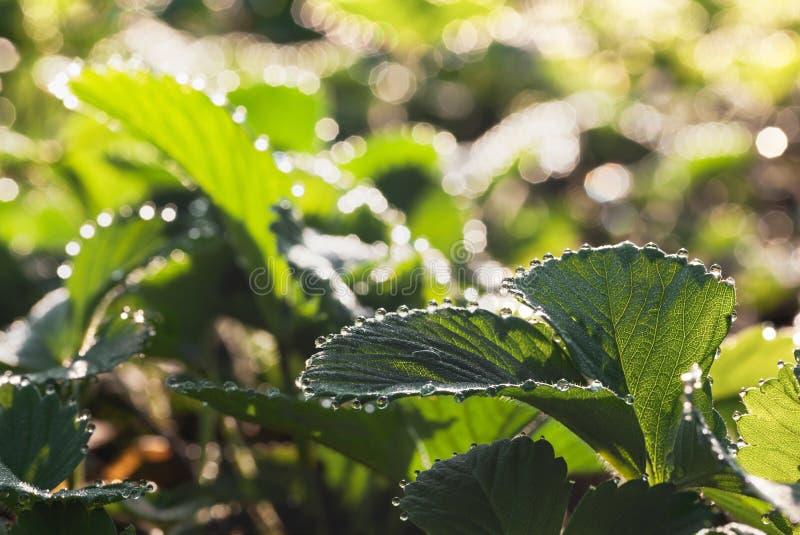 Яркая роса на поле клубники стоковое фото rf