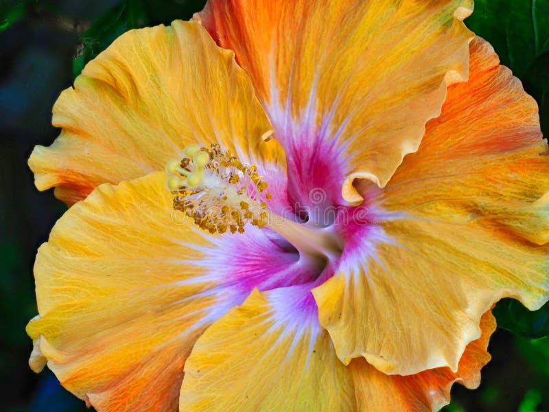 Яркий желтый и оранжевый цветок гибискуса стоковые изображения rf