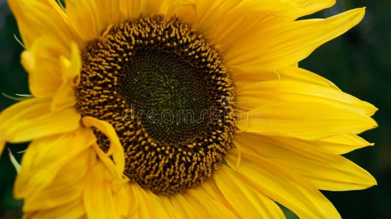 Яркий желтый солнцецвет в конце-вверх лета в ее саде стоковые изображения rf