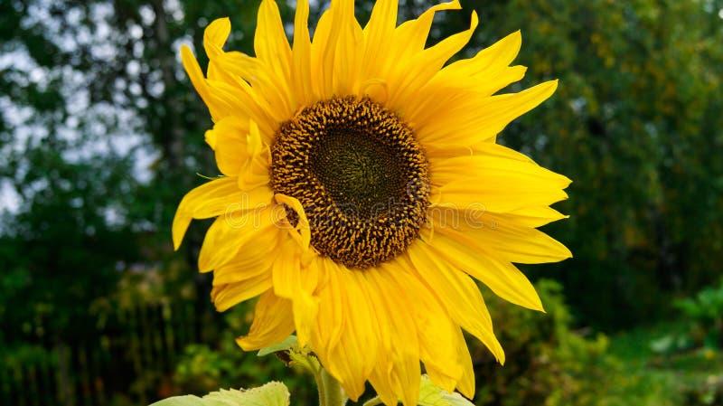 Яркий желтый солнцецвет в конце-вверх лета в ее саде стоковое фото