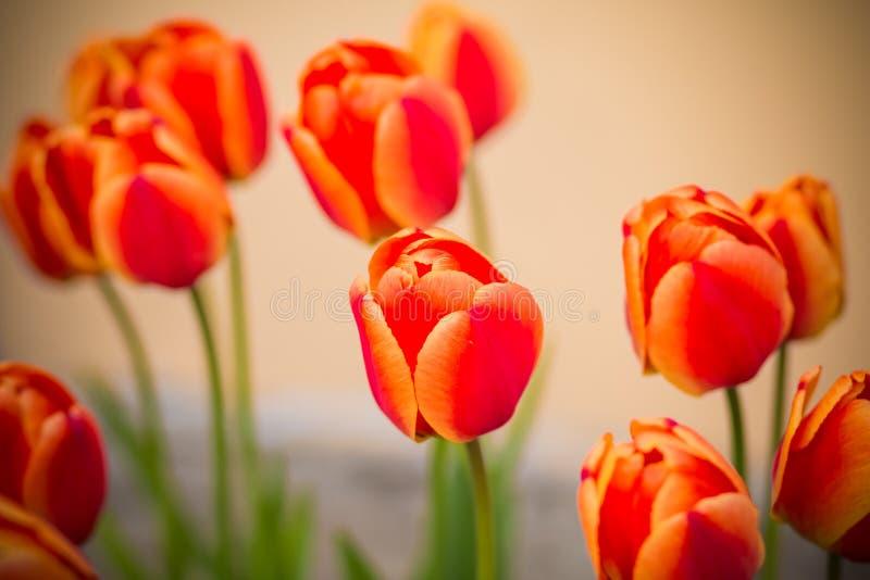 Яркое красочное солнце тюльпанов весной Красные тюльпаны в парке ландшафта фокуса поля дня облаков сини небо выставки заводов дви стоковые изображения