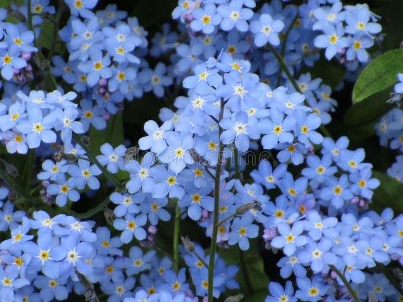 Увлекая голубые цветки незабудки на саде парка ферзя Элизабет стоковая фотография rf
