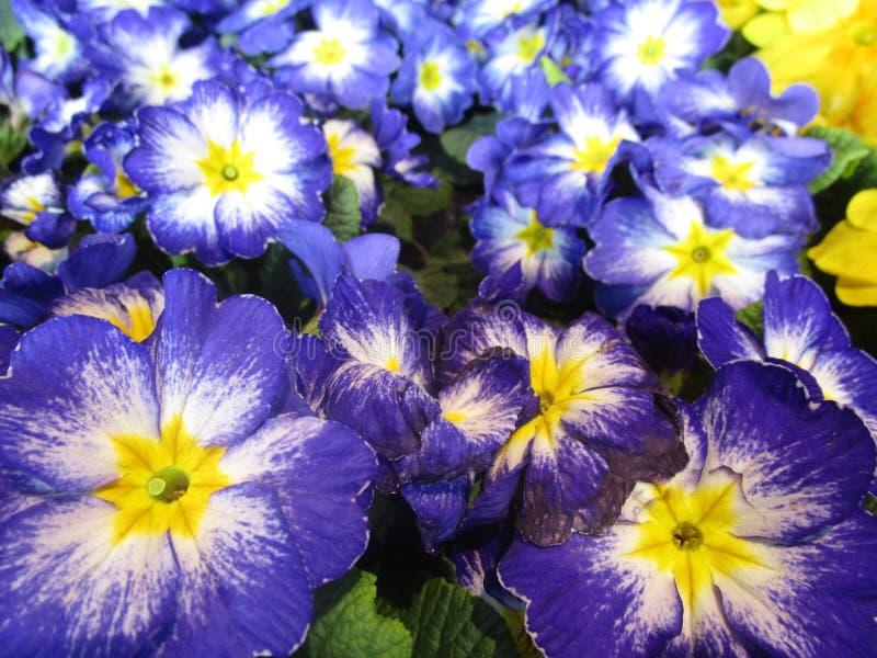 Увлекать голубые и желтые красочные цветки первоцвета на дисплее стоковое изображение rf