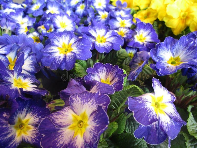 Увлекать голубые и желтые красочные цветки первоцвета на дисплее стоковое изображение