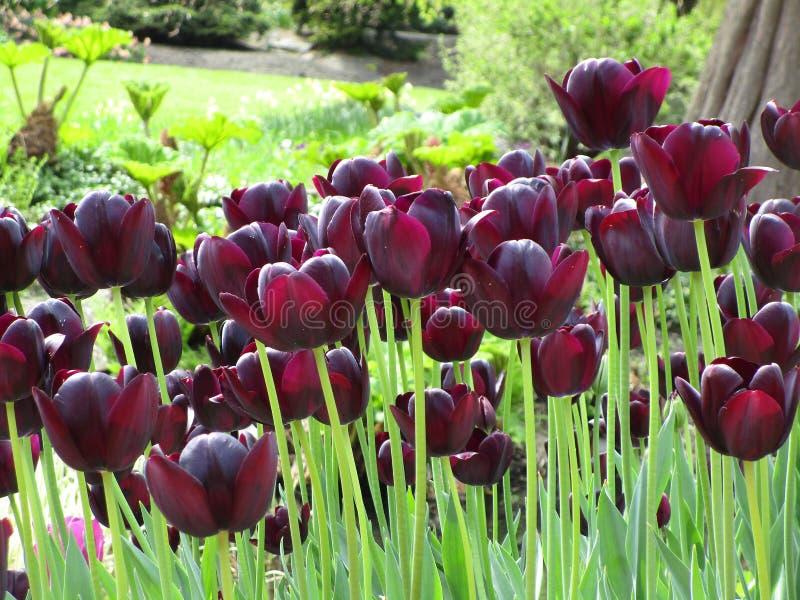 Увлекать темный - красный цветник тюльпана на парке ферзя Элизабет стоковое изображение