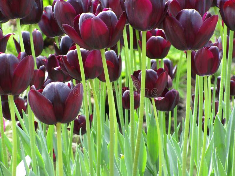 Увлекать темный - красный цветник тюльпана на парке ферзя Элизабет стоковые изображения