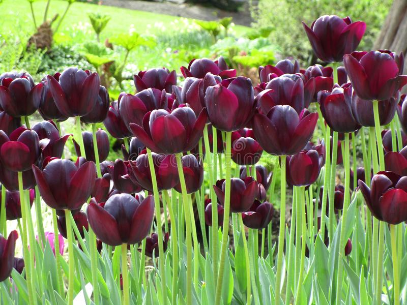 Увлекать темный - красный цветник тюльпана на парке ферзя Элизабет стоковая фотография rf