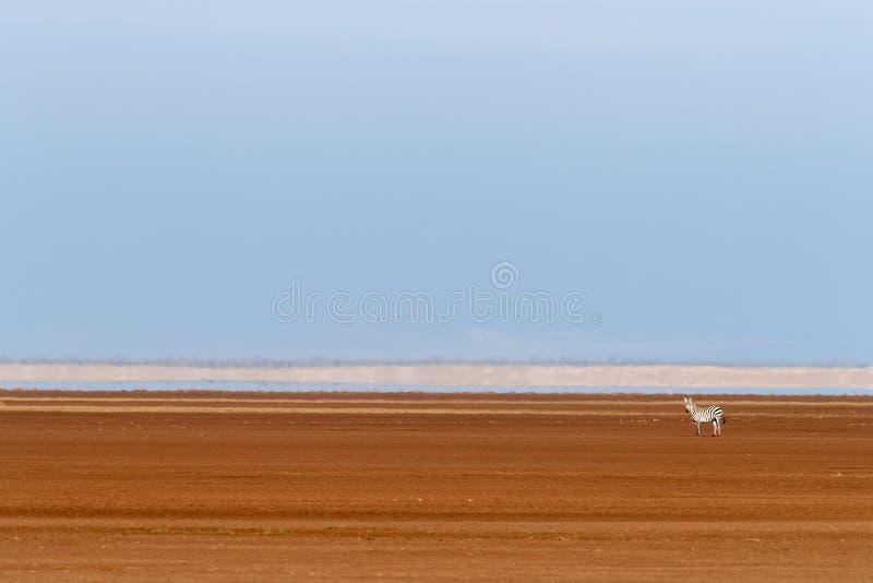 Уединенная зебра в тазе сухого озера Amboseli, Кении стоковая фотография