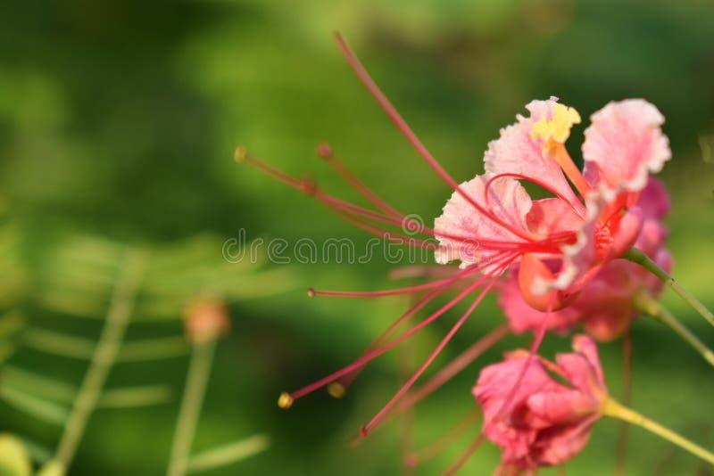 Уникальный тип королевского цветения poinciana в саде Оно показывает красоту природы этот цвет цветка редок стоковые фотографии rf