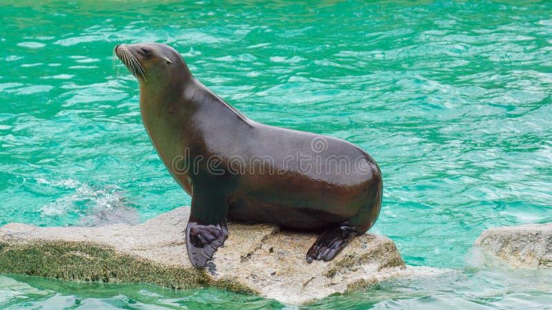 Уплотнение сидя на воде утеса на море стоковое изображение