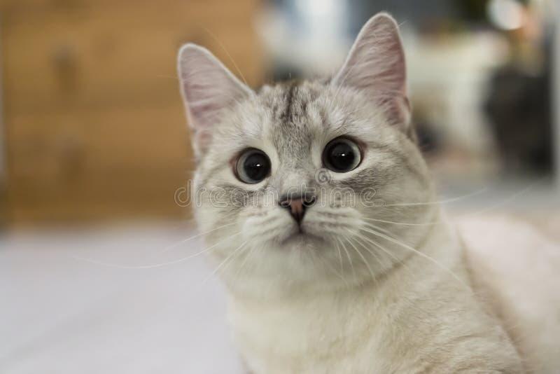 Удивленный намордник молодой серый интересовать кота стоковая фотография