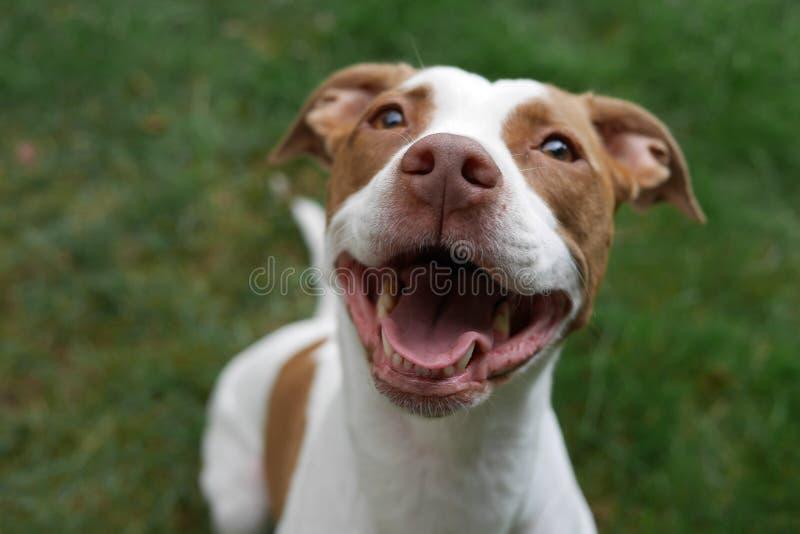 Усмехаясь щенок питбуля счастливый быть принятым стоковая фотография rf