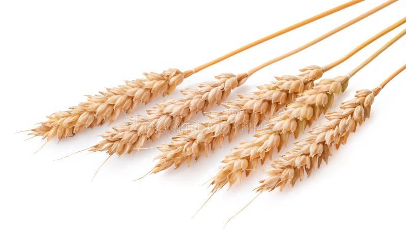 уши предпосылки изолировали белизну пшеницы стоковые изображения rf