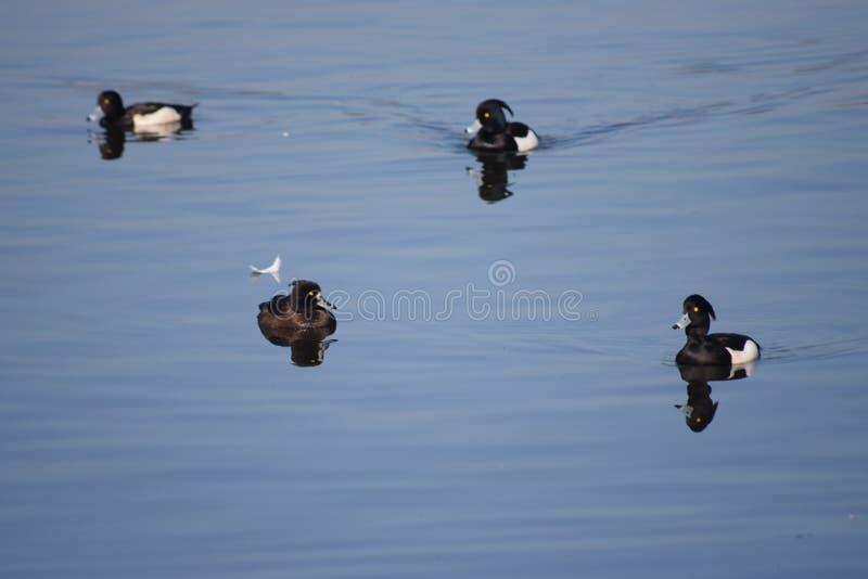 4 утки вихора в пер озера черно-белых Очень ослабляющ для просмотра и для того чтобы увидеть выглядит спокойный и peacefull стоковые фото