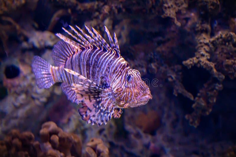 шейх sharm положения льва рыб el стоковое фото
