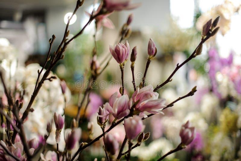 Шикарные цветки магнолии на ветви дерева стоковые изображения rf