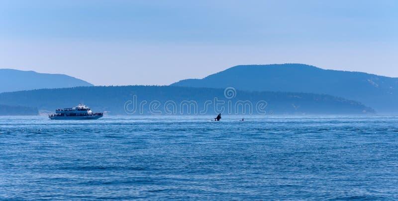 Шлюпка кита наблюдая близко к скача косатке стоковое фото