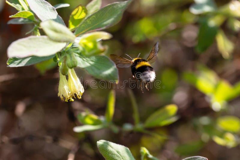 Шмель летает от цветка стоковая фотография