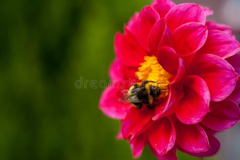 Шмель на цветке - конец-вверх макроса, опыляет цветок, собирает цветень стоковые изображения