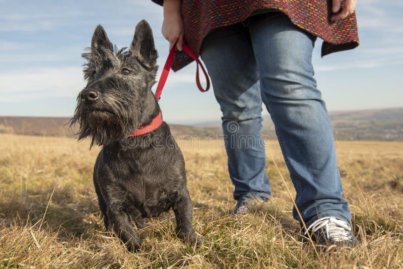 Шотландский терьер на прогулке с владельцем стоковая фотография rf
