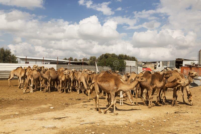 Табун one-humped верблюдов в ручке на ферме верблюда в пустыне Негев стоковое фото