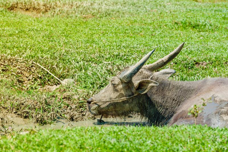 Тайский буйвол сидя в воде в болоте стоковая фотография rf
