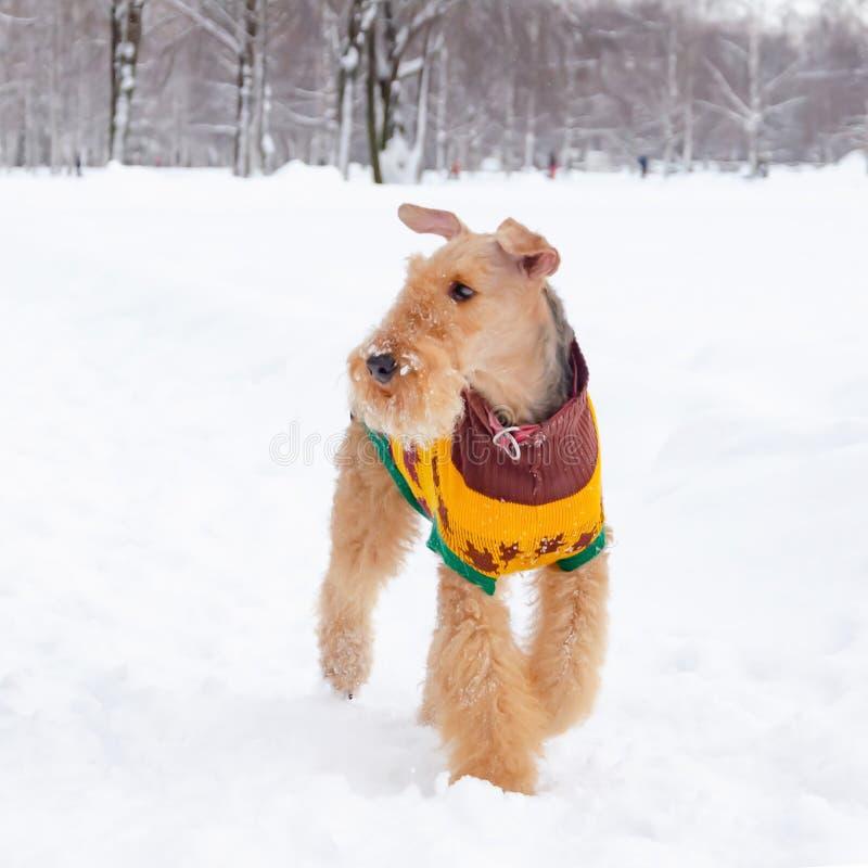Терьер airedale Молодые энергичные прогулки собаки стоковые фотографии rf