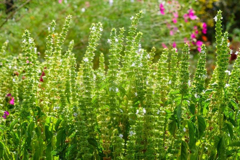 Тибетские lofant или Agastasis сморщили Украшение сада и медицинский завод травы на солнечных лучах стоковое фото