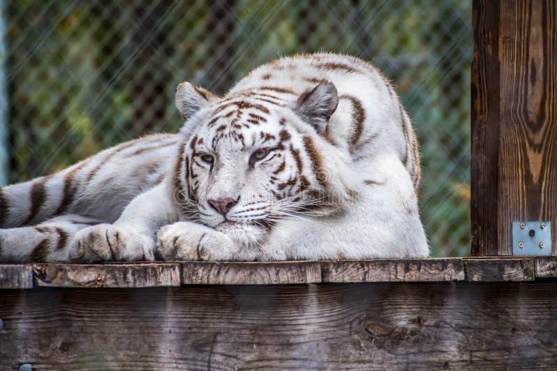 Тигр в Джексонвилл, Флорида черных нашивок белый стоковая фотография